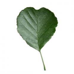 Original Alder Leaf