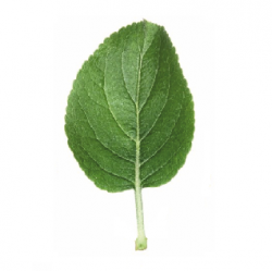 Original Apple Leaf