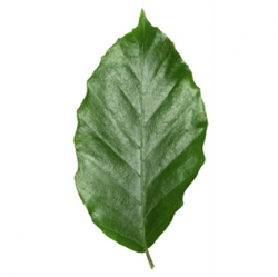 Original Beech Leaf