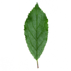 Original Blackthorn Leaf