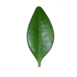 Original Box Leaf