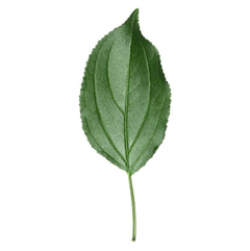 Original Buckthorn Leaf