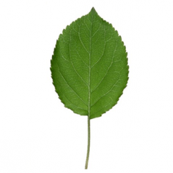 Original Crab Apple Leaf
