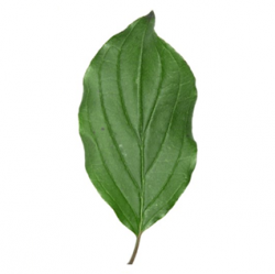Original Dogwood Leaf