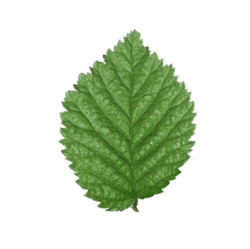 Original Elm Leaf