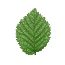 Original Elm Leaf