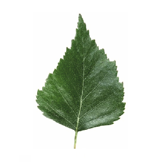 Engraved Silver Birch Leaf Tree Label Tree Labels For