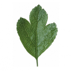Original Hawthorn Leaf