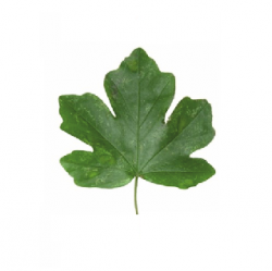Original Maple Leaf