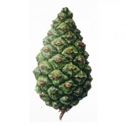 Original Scots Pine Leaf