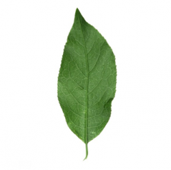 Original Spindle Leaf
