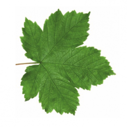 Original Sycamore Leaf