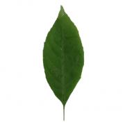 Original Ash Leaf