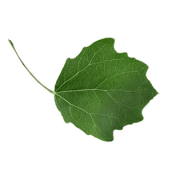 Original Aspen Leaf