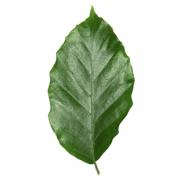 Original Beech Leaf