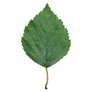 Original Birch Leaf