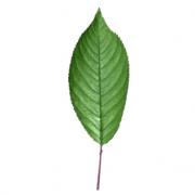 Original Cherry Leaf