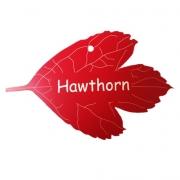 Engraved Hawthorn Tree Leaf Label