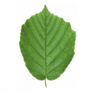 Original Hazel Leaf