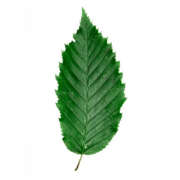 Original Hornbeam Leaf