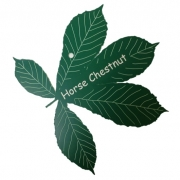 Engraved Horse Chestnut Leaf Label