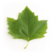 Original London Plane Leaf