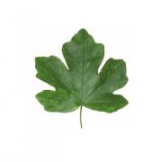 Original Maple Leaf