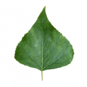 Original Poplar Leaf