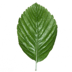 Original Whitebeam Leaf