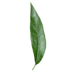 Original Willow Leaf